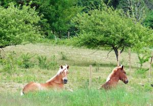 Aval and his half sister, Acorn, resting by the wild apple trees this past summer. Horses know a summer meadow is the answer to the mystery of life.