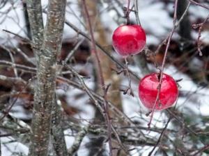 Winter apples of the wildwood.