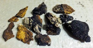 Chaga is a potent medicinal fungus that also makes a fine tea, traditional fire starter for flint and steel, and even serves as incense.
