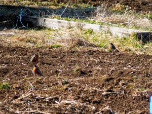 Three robins eat undesired grubs from our garden soil--Nature's pest control!