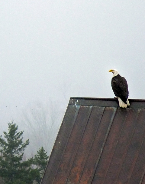 It takes long-lived bald eagles about five years to reach maturity. Only adults sport white head and tail plumage. I've been watching this young adult grow since it was a mere fledgling, and it has only recently come into its full colors, though there is still a little brown on the underside of its tail.