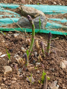 An asparagus crown--one of many in two gardens--sends up eager shoots. We've already had our first harvest.