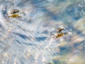 And here we see two water striders going about their busy one fine spring day.