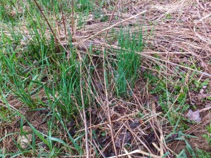 Wild onions are vigorous and one of the first things to emerge.  Patches stick around for years and are prolific if not over harvested.