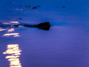 A curious muskrat comes to check out our camp on a small, high and dry peninsula.