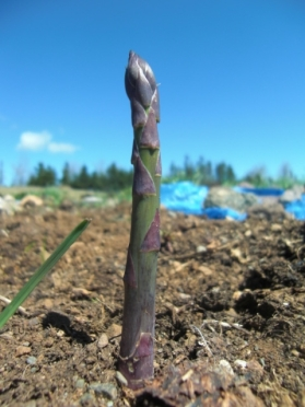A hand span tall today, two feet long day after tomorrow. How on Earth does asparagus manage to grow so fast when nobody's looking?