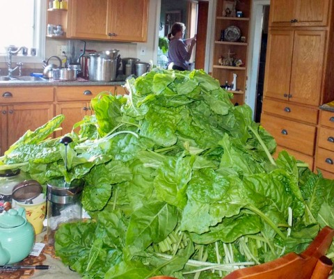 The first mighty pile of chard, but only a small portion of the many harvests we have been enjoying since spring and will continue to reap right to the start of winter.