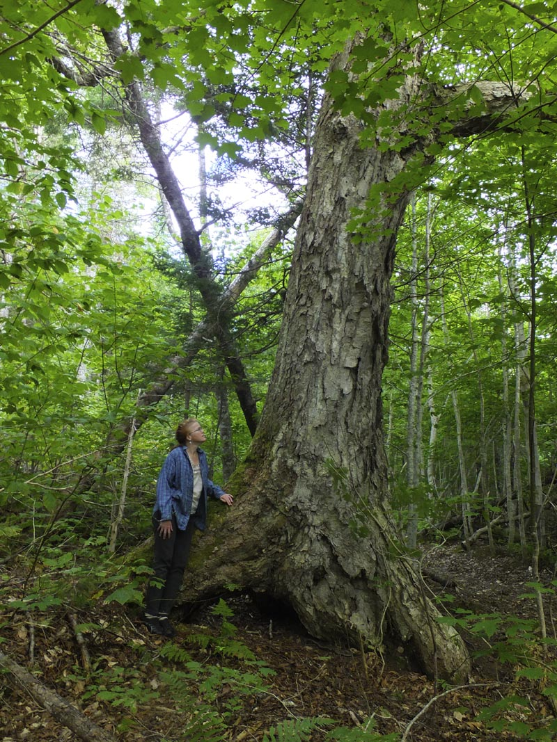 This ancient birch is probably over 200 years old, and is perhaps the largest in the Maritime provinces.