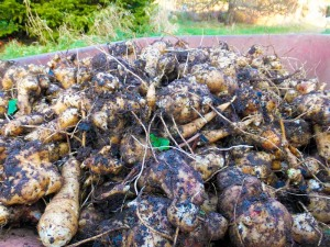 jerusalem artichoke harvest small