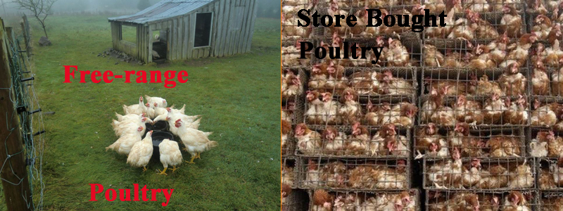 Left is how free-range farmers raise chicken; right is how your corporate grocery store and fast-food joint get their chicken.