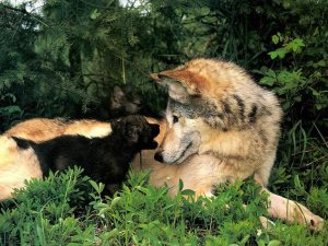 wolf parent