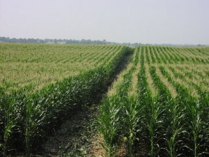 Monocropping, such as this image of thousands of acres of corn, is one of the leading causes of environmental degradation.