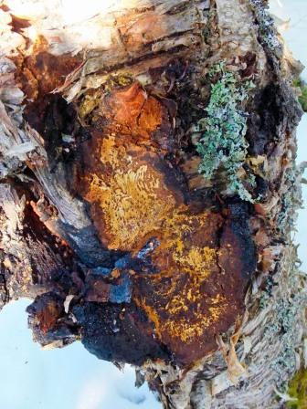 chaga mycelium small
