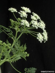 Distinctive multi-faceted, convex clusters of poison hemlock blossoms.  Not the leaves are also nothing like wild carrot.  And the stems are hollow and unchanneled.  Cut the plant open and it smells sickly.