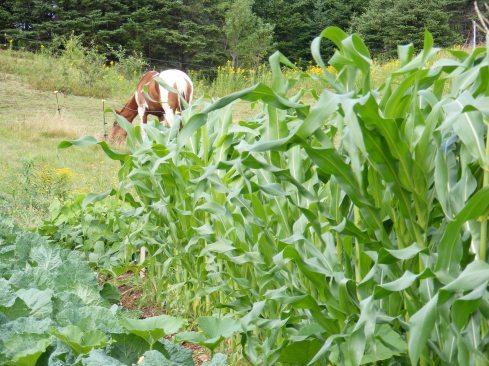 sidhe bheg and corn