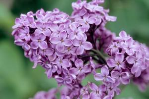 Lilacs come in white and various hues.