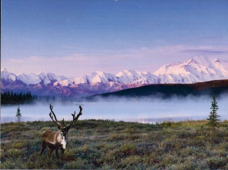 caribou north
