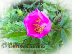 Wild Rose's Charms
