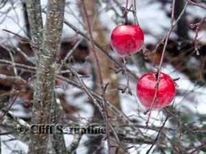 Apples of Imbolc