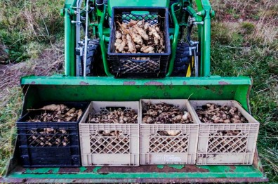 jerusalem artichoke harvest 2015 small