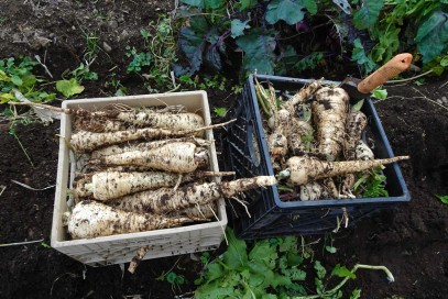 parsnips 2015 small